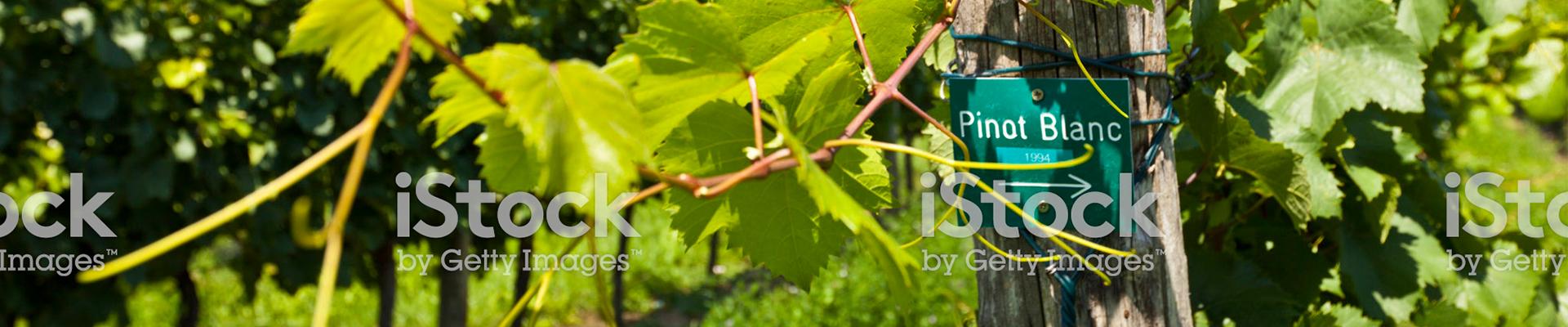 פינו בלאן - Pinot Blanc